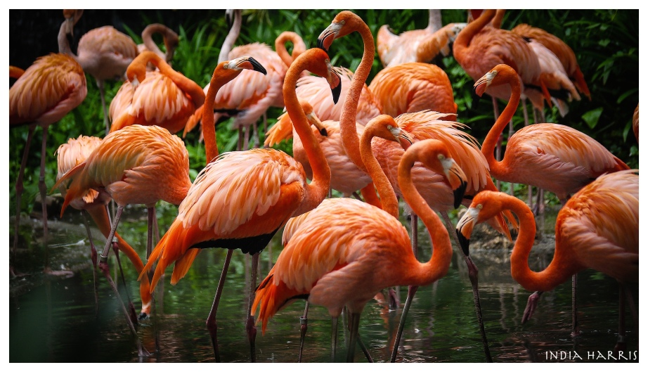Flamingoes at Juron Bird Park