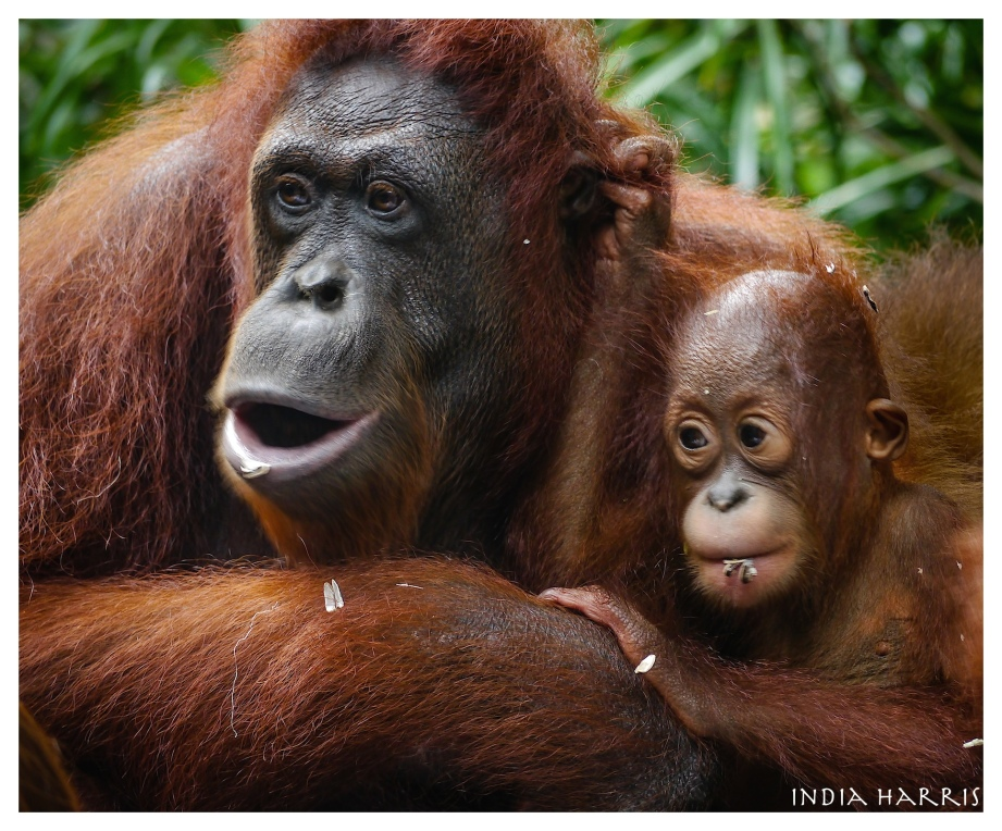 Orangutan and baby. Endangered in the wild.