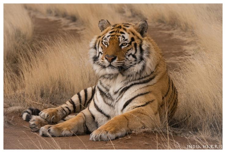 Sariska, a male tiger.